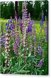 The Lupine Crowd Acrylic Print