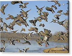 The Mad Rush Acrylic Print by Robert Pearson