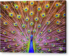 Acrylic Print featuring the photograph The Majestic Peacock by D Davila
