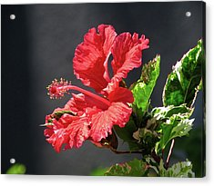 The Mallow Hibiscus Acrylic Print