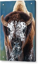 The Masked Bison Acrylic Print