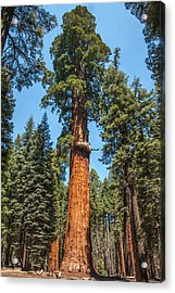 The Mckinley Giant Sequoia Tree Sequoia National Park Acrylic Print