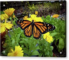 The Mighty Monarch  Acrylic Print