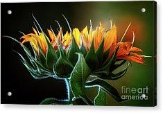 The Mighty Sunflower Acrylic Print