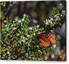 The Monarch Acrylic Print