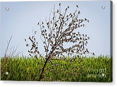 Acrylic Print featuring the photograph The More The Merrier- Tree Swallows  by Ricky L Jones