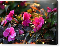 Acrylic Print featuring the photograph The Morning Flower by Paul SEQUENCE Ferguson             sequence dot net