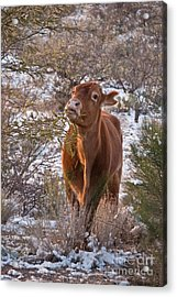 The New Years Cow Acrylic Print by Donna Greene