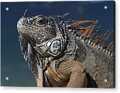 The Night Of The Iguana Acrylic Print
