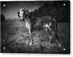 Acrylic Print featuring the photograph The Old Great Dane by Marc Huebner