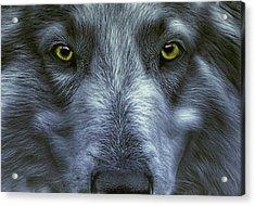 The Old Grey Wolf Acrylic Print by Joachim G Pinkawa