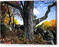 The Old Oak Tree Acrylic Print by Jim  Calarese