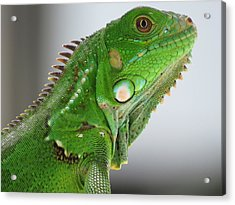 The Omnivorous Lizard Acrylic Print
