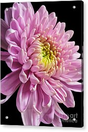 The One And Only Dahlia  Acrylic Print