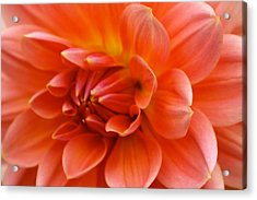 The Opening Of A Dahlia Acrylic Print by Sonja Anderson