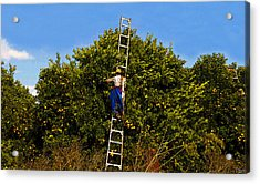 The Orange Picker Acrylic Print by David Lee Thompson