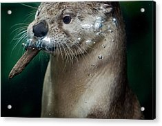 The Otter And The Wood Chip Acrylic Print