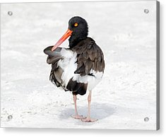 Acrylic Print featuring the photograph The Oystercatcher by Phil Stone