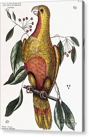 The Parrot Of Paradise, Psitticus Paradisis Acrylic Print