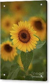 The Patch Of Sunflowers Acrylic Print