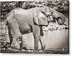 The Pause That Refreshes - Black And White Elephant Photograph Acrylic Print