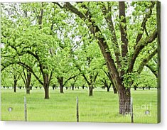 The Pecan Orchard In The Spring Acrylic Print