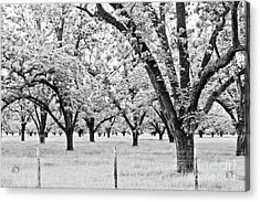 The Pecan Orchard - Bw Acrylic Print
