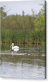 Acrylic Print featuring the photograph The Pelican And The Ducklings by Alyce Taylor