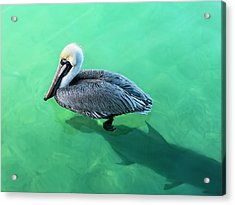 The Pelican And The Shark Acrylic Print