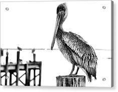 The Pelican In Black And White Acrylic Print by JC Findley