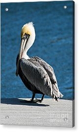 The Pelican Acrylic Print by Steven Gray