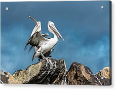 The Pelicans Acrylic Print by Racheal Christian