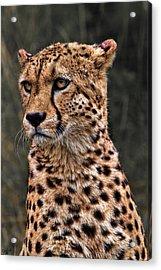 The Pensive Cheetah Acrylic Print by Chris Lord