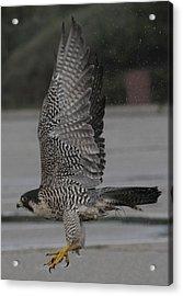 The Peregrine Falcon Acrylic Print