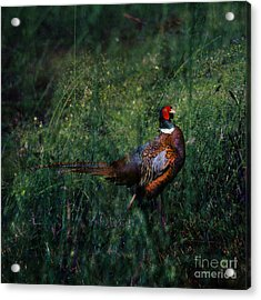 The Pheasant In The Autumn Colors Acrylic Print by Angel  Tarantella