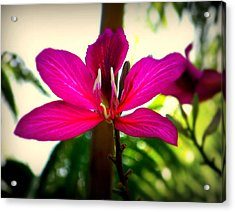 The Pink Lady Acrylic Print by Karen Wiles