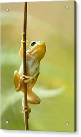 The Pole Dancer - Climbing Tree Frog  Acrylic Print by Roeselien Raimond