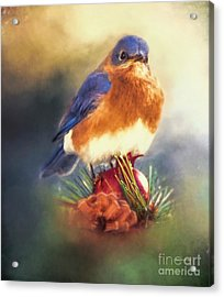 The Pondering Bluebird Acrylic Print