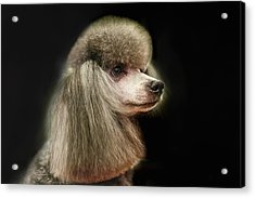 The Poodle Is A Breed Of Dog, One Of The Most Common Breeds In The Present. Acrylic Print