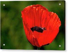 Acrylic Print featuring the photograph The Poppy Next Door by Onyonet  Photo Studios
