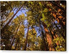 The Portola Redwood Forest Acrylic Print
