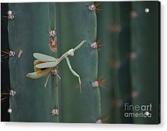 The Praying Mantis Acrylic Print by Donna Greene