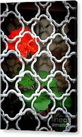 The Pretty Red Captive  Acrylic Print