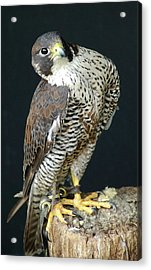 The Proud Falcon Acrylic Print