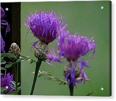 The Purple Bloom Acrylic Print