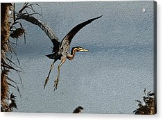 The Purple Heron Acrylic Print by Manjot Singh Sachdeva
