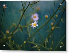 Acrylic Print featuring the photograph The Quiet Aster by Douglas MooreZart