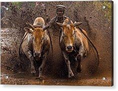 The Racing Cows Acrylic Print by Media Hendriko