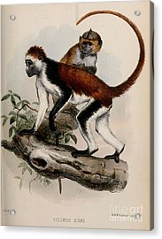 The Red Colobus Of Zanzibar Acrylic Print by MotionAge Designs