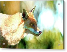 The Red Fox 660-painted Acrylic Print by Ericamaxine Price